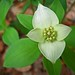 Dogwoods - Photo (c) D. Sikes, some rights reserved (CC BY-SA)