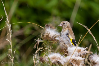 Putter (Goldfinch)