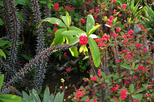 Crown of Thorns, white spiked cactus on a dark branches with little red flower bunches, green leaves, Meditation Garden - Self-Realization Fellowship, Encinitas, California, USA by Wonderlane