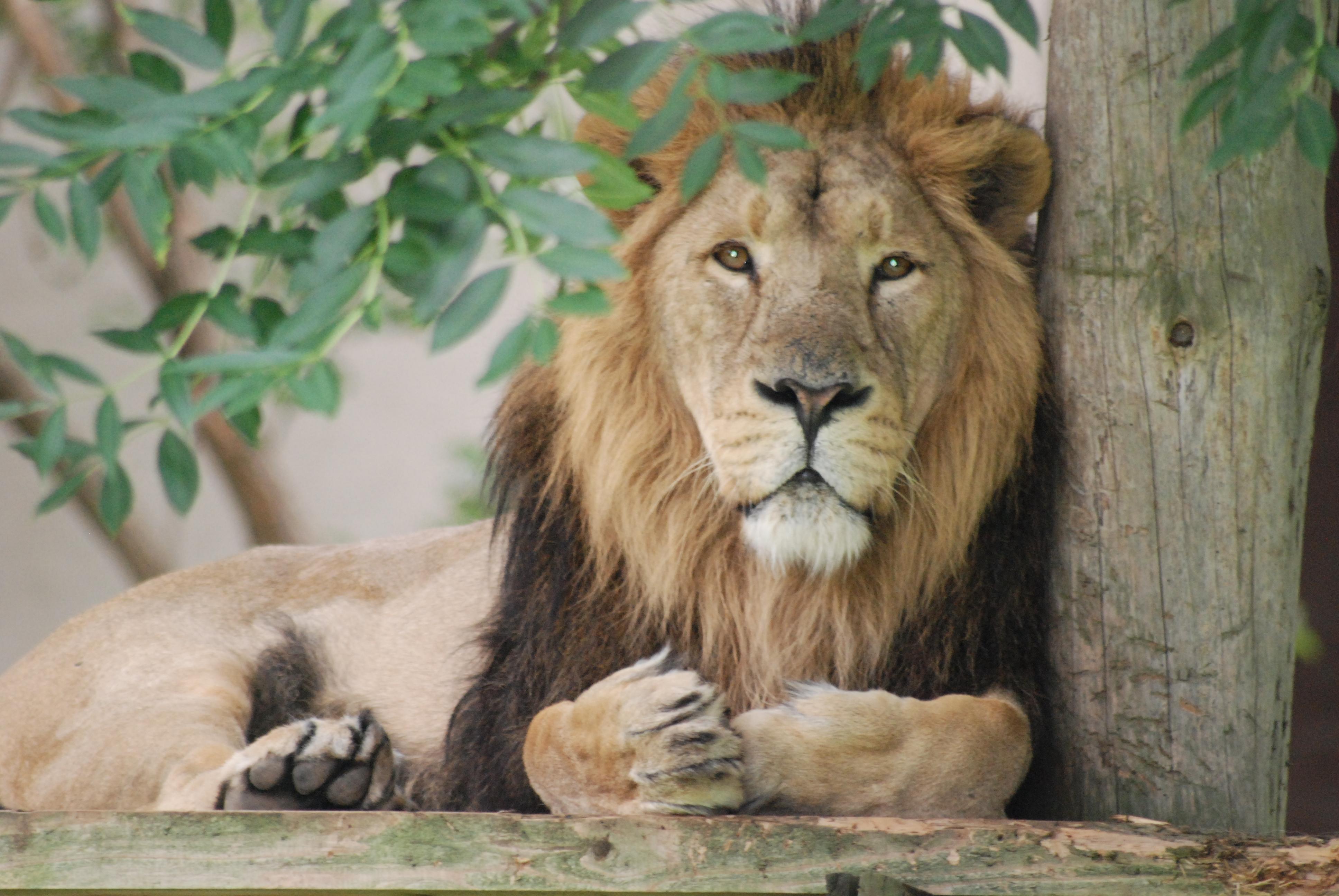 Asian Lion Pictures 44