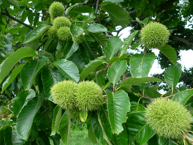 Header of American chestnut