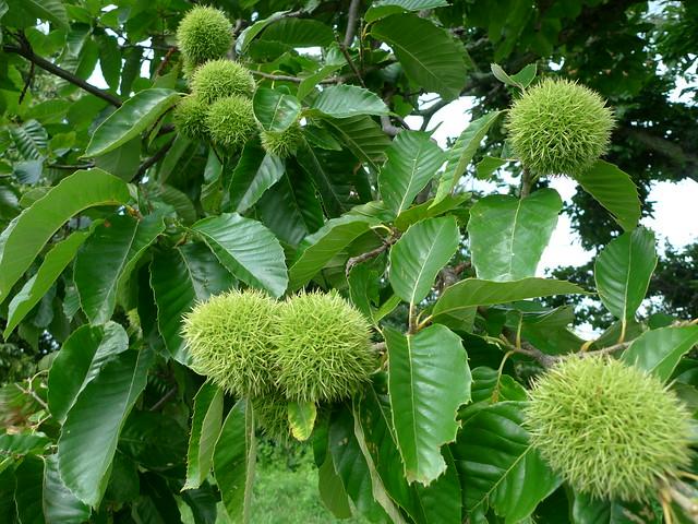 Header of American chestnut