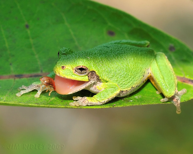 Tree Frog Catching Bug! | Flickr - Photo Sharing!