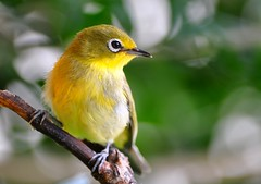 Cape White-eye - Photo (c) Ian White, some rights reserved (CC BY-ND)