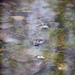 Small photo of Frogs in amplexus in Russia Dock Woodland