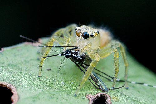 Jumping spider with tiger mosquito prey IMG_8780 copy