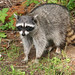 Raccoons - Photo (c) Lynette Schimming, some rights reserved (CC BY-NC)