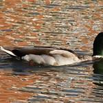 duck1-flickr