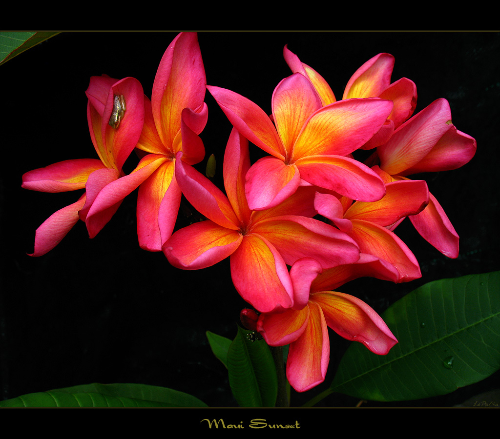 Hawaiian Flowers The Plumeria Maui Sunset A Photo On Flickriver