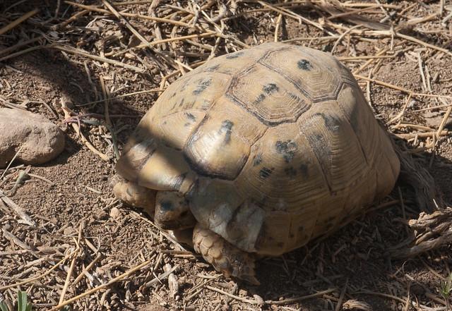 Golden greek tortoise full grown