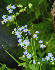 flower, plant, wildflower, flora, forget-me-not,