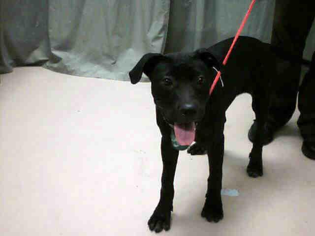 Solid Black Female Pit Bull Terrier | Flickr - Photo Sharing!