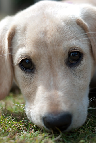 Labrador puppy with worried face
