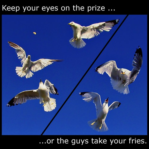 blue sky food seagulls white toronto ontario canada look birds turn canon square fly concentration focus action fb gulls hunting flight dive competition powershot explore eat agility dodge prey seek collegiate hunters 1x1 competion predators navigate hunted mostviewed frenchfry sought agile eastyork compete eyci strive view500 fave10 fave50 sx110is fave25 nowandhere