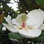 Southern magnolia / Magnolia grandiflora / 泰山木(タイサンボク)