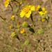 Heermann's tarweed - Photo (c) randomtruth, some rights reserved (CC BY-NC-SA)