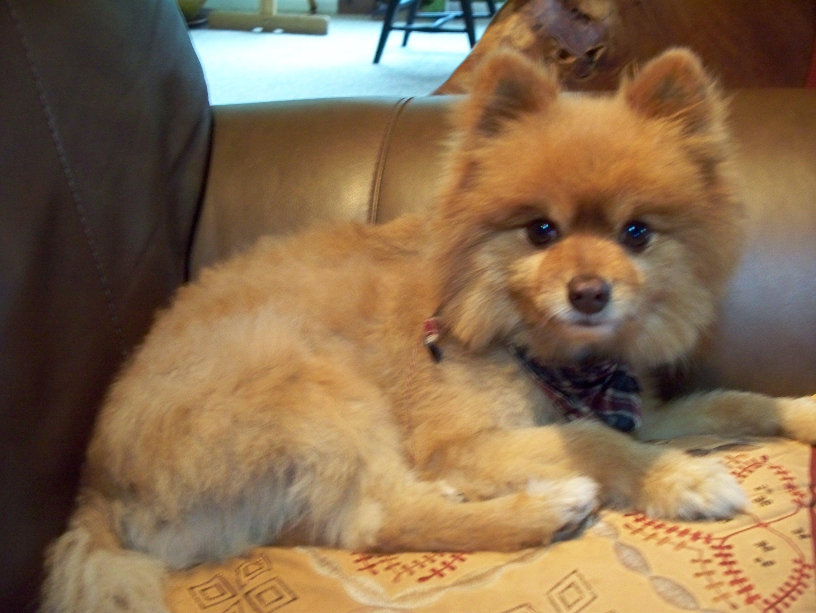 Pomeranian Light Brown