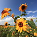 Sunflowers - Photo (c) TANAKA Juuyoh (田中十洋), some rights reserved (CC BY)