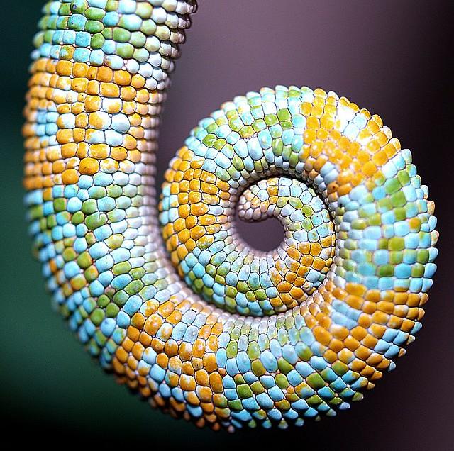 chameleon tail
