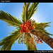Fruity palms, Caye Caulker