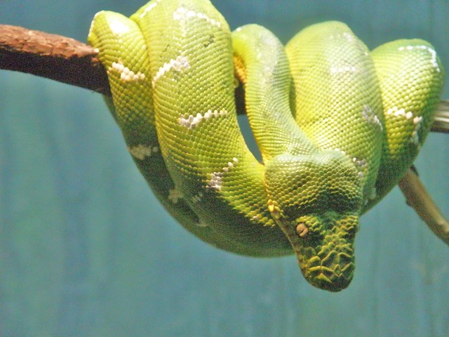 bright green rainforest snake | Flickr - Photo Sharing!