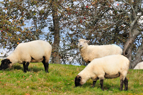 geotagged sheep allrightsreserved©drgnmastrpjg rawjpg geo:lat=46086805 geo:lon=64988594