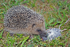 animal, domesticated hedgehog, erinaceidae, fauna, wildlife,