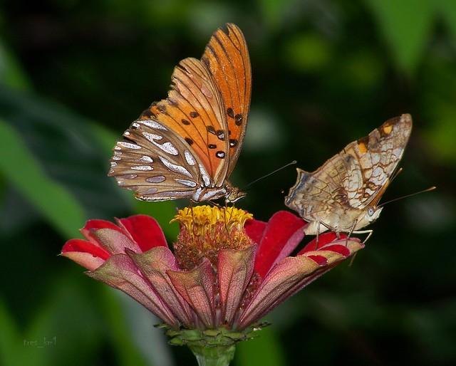 Dos Mariposas de un Tiro...