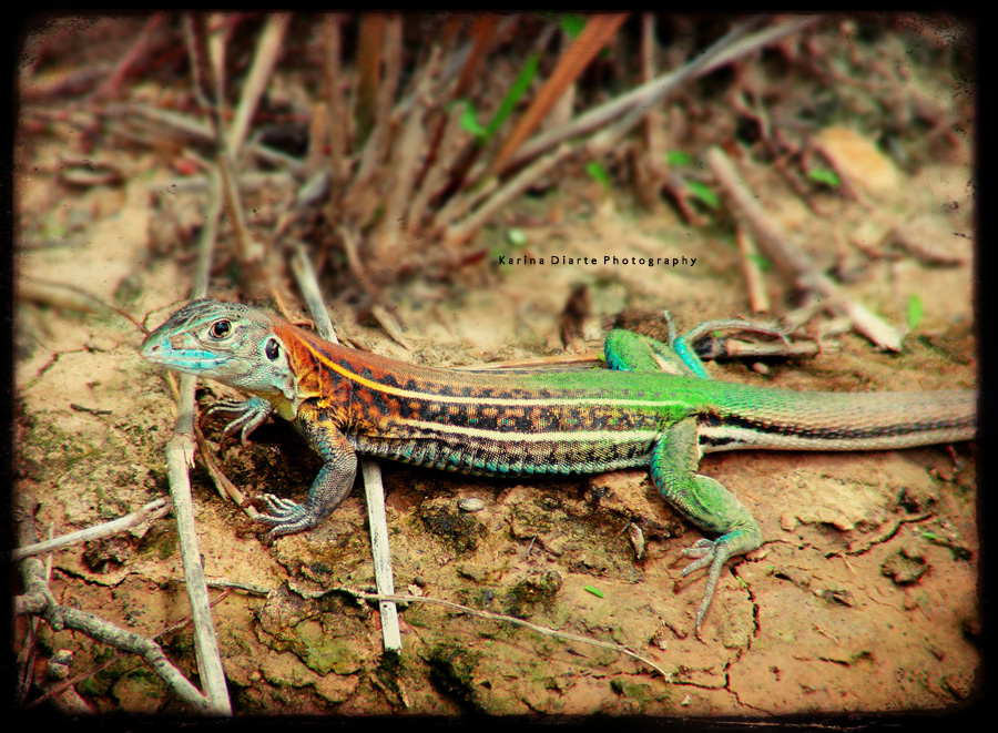 Teju Verde / Whiptail lizard