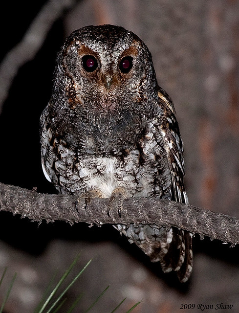 Flammulated Owl (Otus flammeolus) | A vertical crop. There w ...