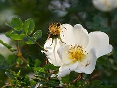 blossom, garden roses, flower, plant, nature, rosa rubiginosa, macro photography, rosa canina, flora, rosa multiflora, rosa pimpinellifolia, petal,