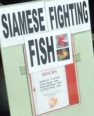 Siamese Fighting Fish for Sale sign, Ipswich Rd, Annerley Junction, Brisbane, Queensland, Australia 090617