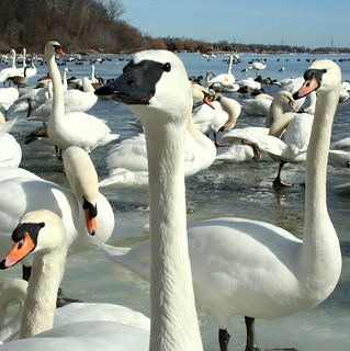 Swan Flock at Lasalle Park