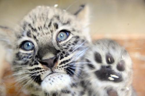 Baby perzische panther