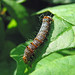 Small photo of Eight-spottted Forester, Alypia octomaculata