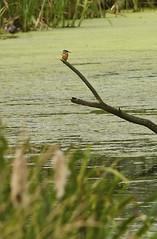 Kingfisher's at Slimbridge
