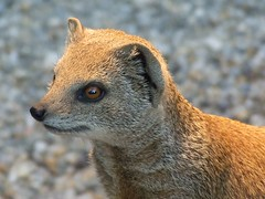animal, mammal, fauna, close-up, whiskers, meerkat, wildlife,