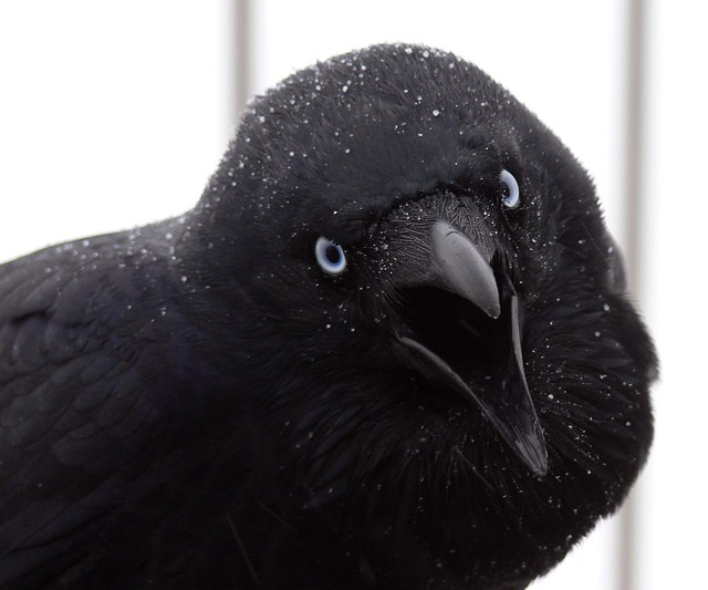 Australian Raven With Beak Open Mid-Squawk & Light Dusting of Snow (Closeup)