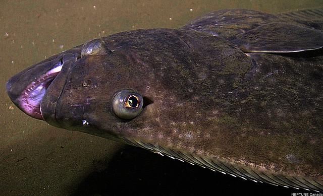 Sablefish Mail: Pacific Halibut (Hippoglossus Stenolepis