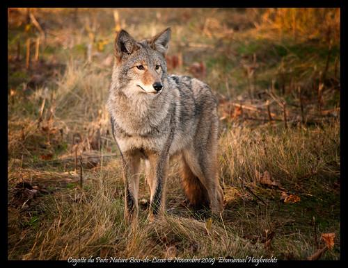 Coyote (Parc Nature Bois-de-Liesse)