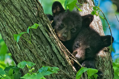 bears cubs greatsmokymountains cadescove coth supershot coth5