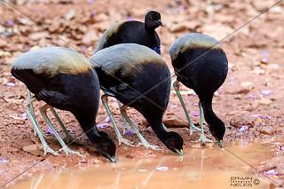 BIRD GREY WINGED TRUMPETER SURINAM AMAZONE SOUTH-AMERICA
