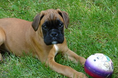 dog breed, animal, dog, pet, carnivoran, boxer, bullmastiff, boerboel,