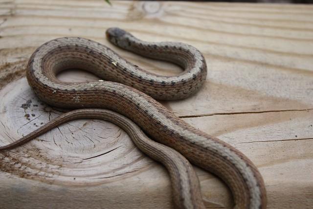 Common Garter Snake Found In My Garden Was Not Happy