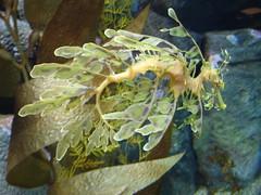 DSC01687-Leafy Sea Dragon