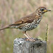 Song Thrush - Photo (c) Carron Brown, some rights reserved (CC BY-NC-ND)