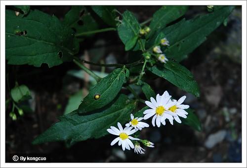 北京阳台山的常见野花-菊科紫菀属三脉紫菀(马二确认)