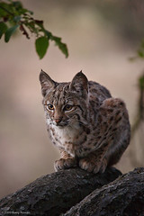 Bobcat kitten in tree.