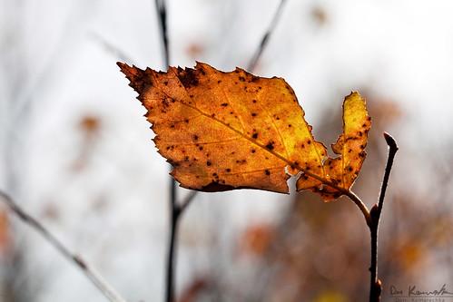 autumn orange brown sun macro dead leaf sudbury