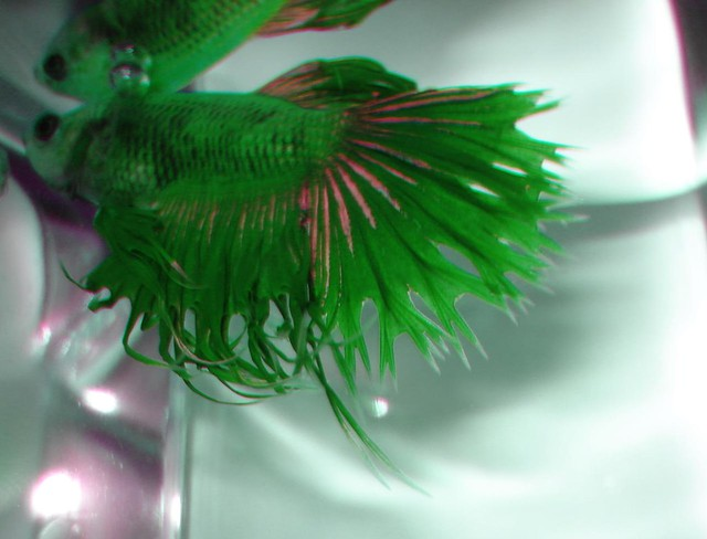 4065564870 768cf0162e for Crowntail betta fish